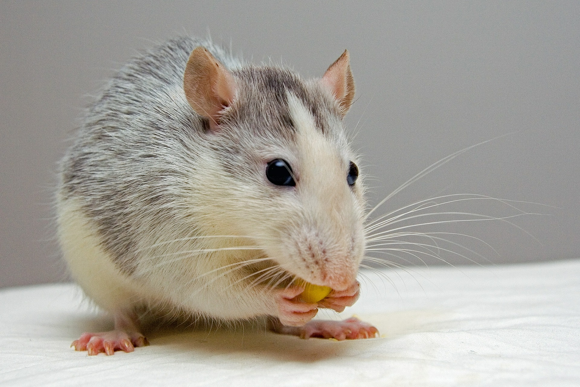 Highly Sophisticated Parasite RAT Emerges on the Dark Web